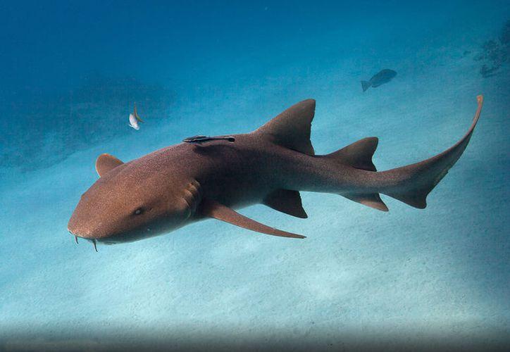 El tiburón nodriza mordió a Sarah del brazo mientras nadaba en el Caribe. (Foto: Contexto)