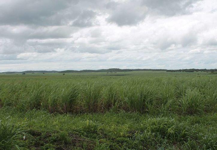 Las lluvias  serán beneficiosas para el cultivo de la caña. (Edgardo Rodríguez/ SIPSE)