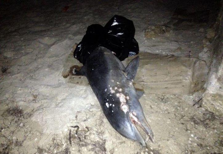 En la necropsia del delfín muerto no se encontró evidencia de parásitos, depredación o agresión humana. (Milenio Novedades)