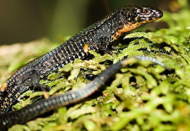 Los científicos que descubrieron la lagartija proponen que se llame como la zona arqueológica donde fue encontrada. (EFE)