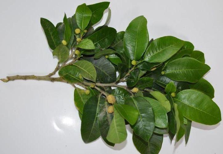 La planta de ramón es un alimento mencionado por los mayas en sus libros sagrados y olvidado por el México actual. (Imágenes Conacyt/ formato7.com)