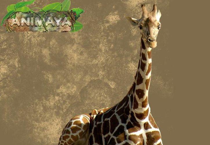 Interponen una denuncia ante la Profepa por la muerte de la jirafa Mamah, en Animaya. Imagen de contexto de uno de estos animales que habitan en el zoológico. (merida.gob.mx)