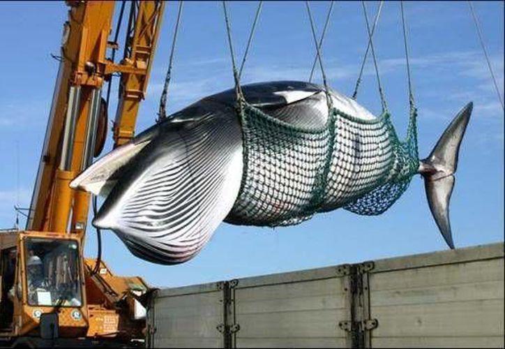 En marzo de 2014, la Corte Internacional de Justicia determinó que la investigación que Japón llevaba a cabo con ballenas carecía de sustento científico. Imagen de contexto. (Archivo/AP)