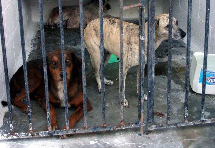 Las autoridades apuestan por esterilización de los animales. (Milenio Novedades)