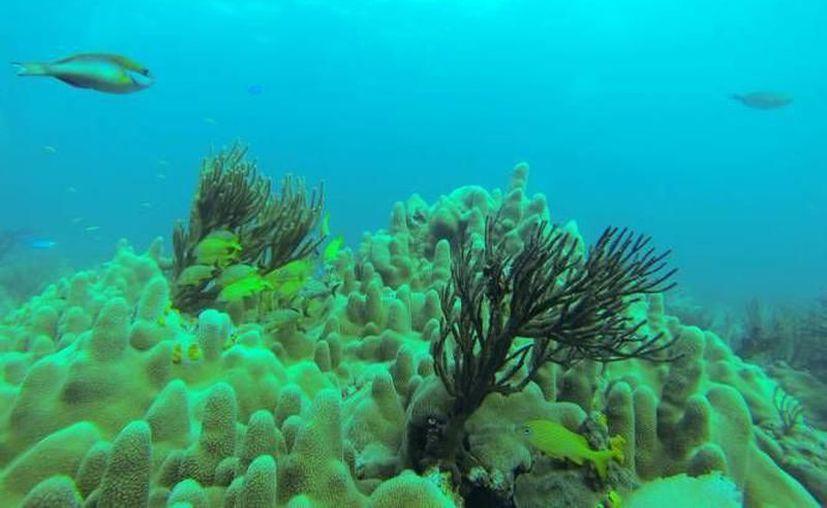 Cinco nuevas zonas arrecifales son estudiadas en el Golfo de México. (Redacción/SIPSE)