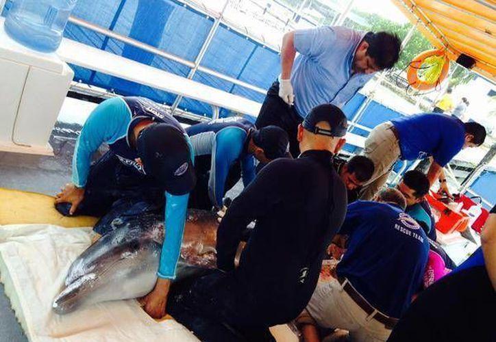 El delfín medía dos metros de largo. (Redacción/SIPSE)