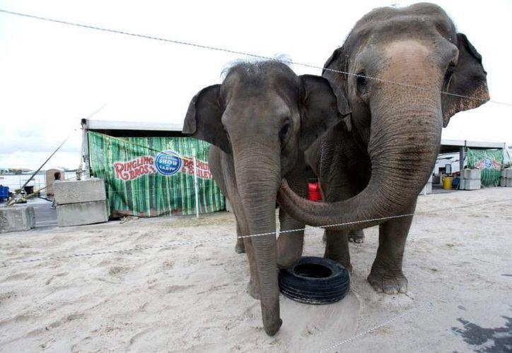 El circo Ringling Brothers and Barnum & Bailey había planificado terminar sus shows con elefantes hasta 2018. Sin embargo lo hará desde este mayo debido a las complicaciones que existen en Estados Unidos para efectuar espectáculos con animales. (AP)