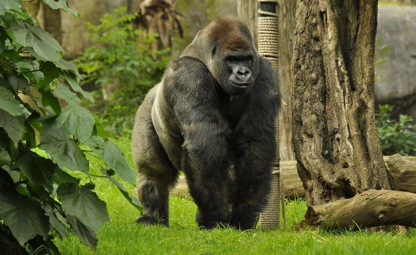 """""""Bantú"""" de tierras bajas occidentales del Zoológico de Chapultepec falleció, antes de ser trasladado al Zoológico de Guadalajara. (Notimex/Cortesía ENV)"""