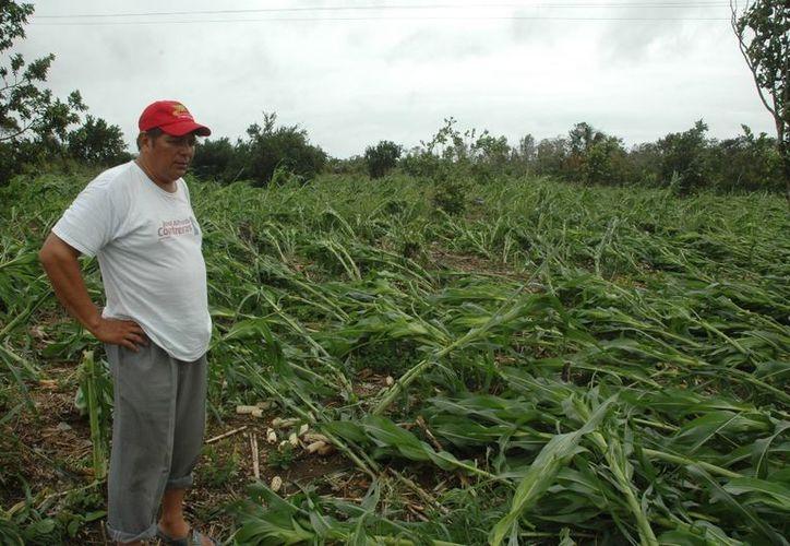 """Campesinos no pudieron solventar deudas debido a que la aseguradora no les pagó los daños que causó el huracán """"Ernesto"""". (Edgardo Rodríguez/SIPSE)"""