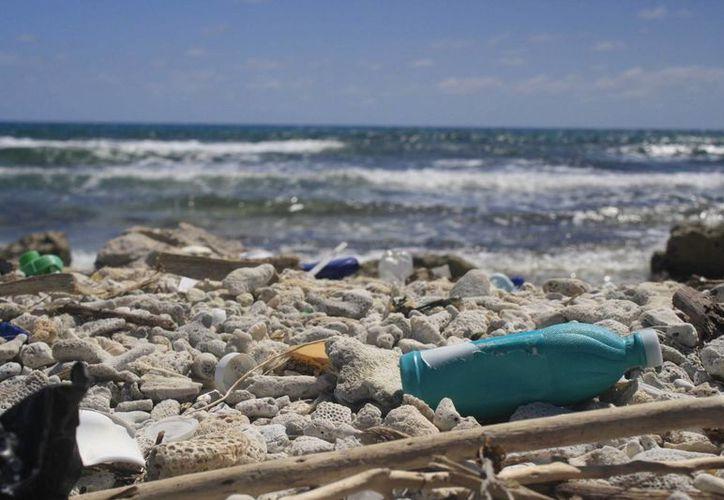 En cada jornada se limpia todo el litoral de la playa. (Harold Alcocer/SIPSE)
