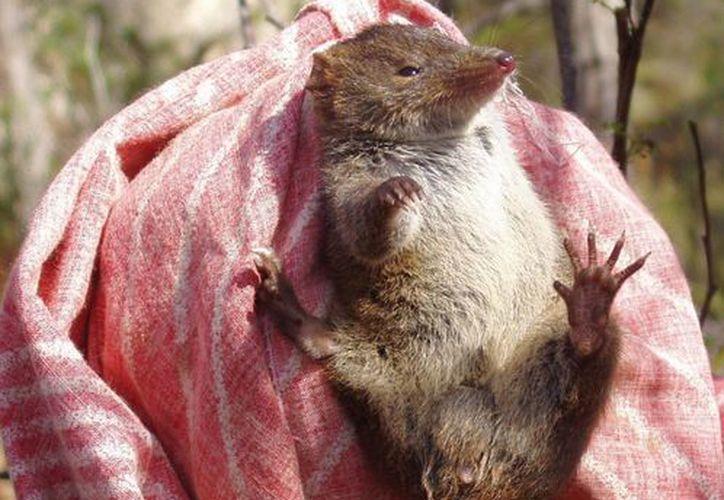 Estudios previos refieren que con anterioridad se conocían 13 especies de ratones marsupiales dentones, propias de Australia y Tasmania. (wikipedia.org)