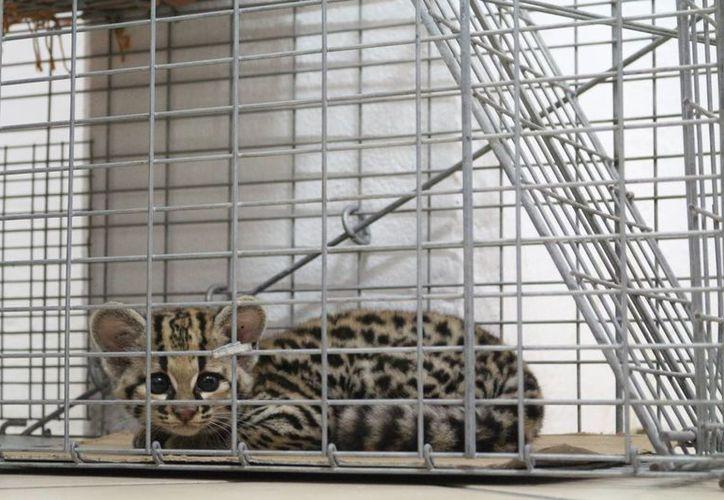 Un tigrillo de aproximadamente tres meses de edad fue rescatado y ubicado en un zoológico de Playa del Carmen. (Cortesía)