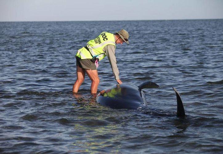 Un trabajador del Departamento de Conservación en Nueva Zelanda auxilia de una de las 200 ballenas que quedaron varadas en una playa. (AP)