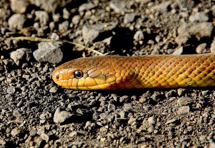 Parvat mordió al reptil hasta matarlo. (Pixabay)