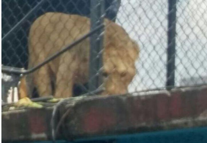 El león, de más de 90 kilogramos de peso, se encontraba en la azotea de un edificio en la delegación Venustiano Carranza. (López Dóriga Digital)