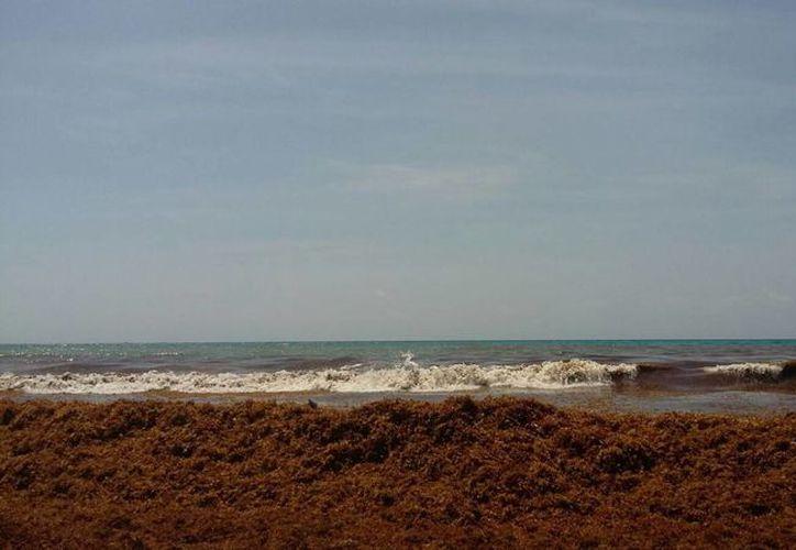 El sargazo mantiene a los bañistas lejos del mar. (Israel Leal/SIPSE)