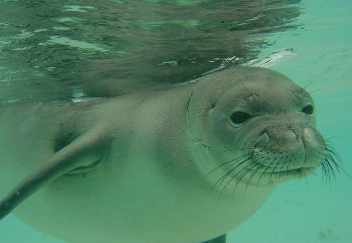 Las aguas del Caribe mexicano pierden una importante especie. (Redacción/SIPSE)