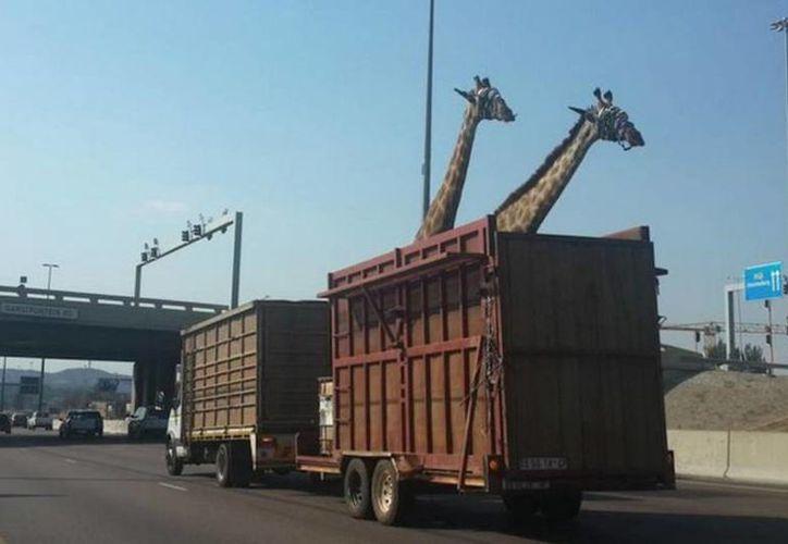 La Sociedad para la Prevención de la Crueldad Animal en Sudáfrica confirmó que levantará una denuncia por la muerte de la jirafa. (lanacion.com.ar)