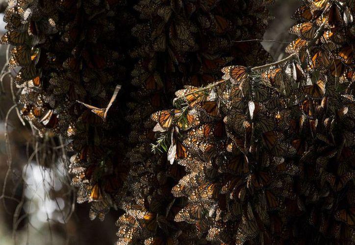 Imagen donde se aprecian las mariposas  monarca entre las ramas de los árboles en al santuario de Piedra Herrada, cerca de Valle del Bravo, México. (Agencias)