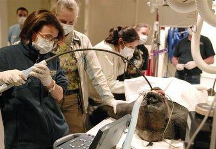 En esta foto sin fecha proporcionada por la doctora Bárbara Natterson-Horowitz, ella inserta una sonda en el esófago de un gorila para una prueba diagnóstica de su corazón como parte de un tratamiento preventivo (AP)