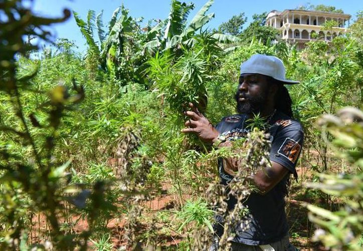 El granjero apodado Breezy muestra su plantación ilegal de marihuana próxima al poblado de Nine Mile. (Agencias)