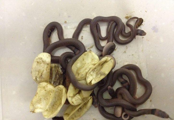 La serpiente marrón oriental porta un veneno altamente letal. (EFE)