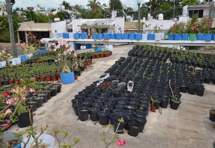 """La productora comercializa a un precio de 250 pesos cada planta en el """"Parque de las Casitas"""". (Edgardo Rodríguez/SIPSE)"""