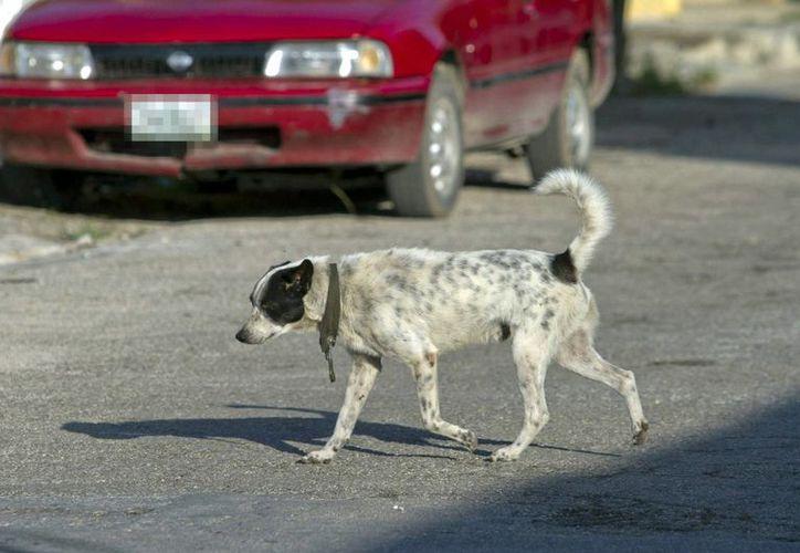 Asociaciones y vecinos convocan a una marcha pacífica en contra del maltrato animal y los perros que fueron macheteados ayer. Fotografía de un perro callejero en una calle de Mérida.(Archivo/Notimex)