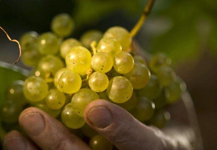 El prosecco, el vino espumoso italiano más conocido, ha conquistado con su frescura y delicadeza las mesas de todo el mundo. La imagen es de la variedad de uvas con las que se realiza este vino. (EFE)