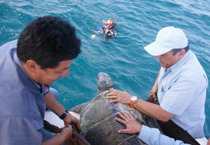 La tortuga blanca a punto de volver al mar. (Cortesía Semarnat)