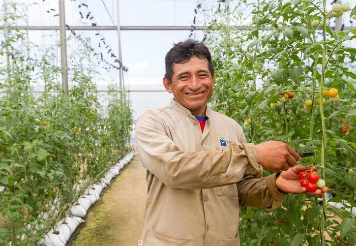 La empresa Znova utiliza tecnología de punta para alimentar las plantas en invernaderos sin que sea necesaria la intervención de la mano del hombre. En la imagen, uno de los trabajadores que supervisa los cultivos. (yucatan.gob.mx)
