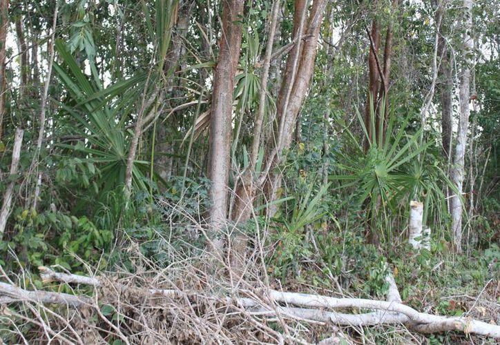 El sello verde es un símbolo de calidad que certifica a las maderas. (Benjamín Pat/SIPSE)
