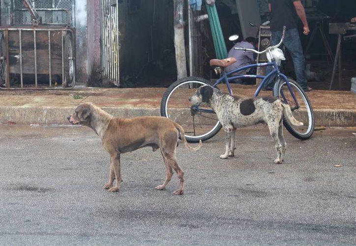 """Un estudio realizado por el Fondo Internacional para el Bienestar Animal revela que 80% de los perros de la calle son liberados por sus dueños mientras van al trabajo.  Los amarran durante la noche para que """"cuiden la casa"""".  (Yesenia Barradas/SIPSE)"""