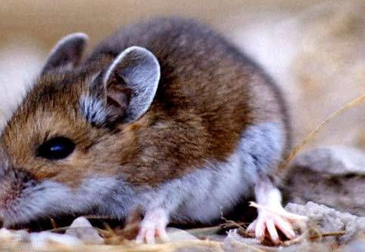 Un ratón era utilizado en una cárcel de Brasil para transportar droga. Los reos le ataban un hilo a la cola y en esta llevaba cocaína y otros objetos, como 'chips' de celulares, entre los pabellones. (medioambientales.com)
