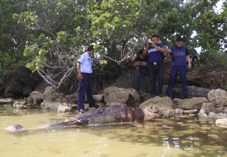 El ejemplar era un macho de dos metros y 10 centímetros de largo con un peso de 300 kilos. (Harold Alcocer/SIPSE)