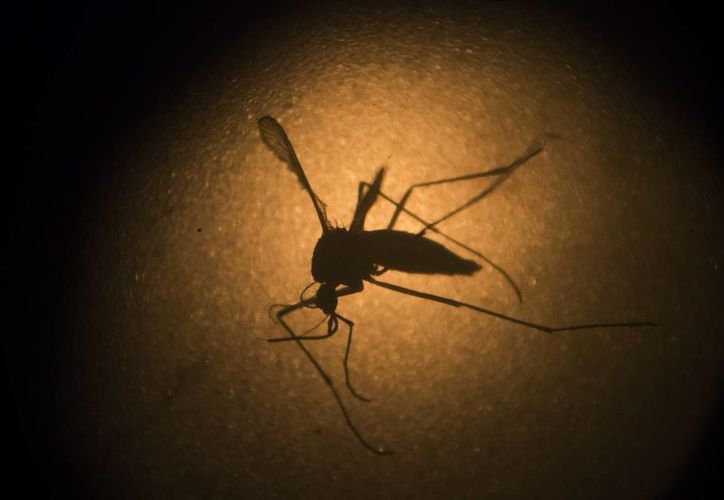 Foto del mosquito Aedes aegypti, que causa el virus del zika. (Agencias)