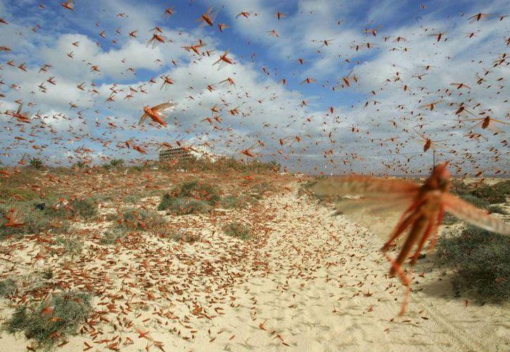 Actualmente, Yucatán se encuentran en alerta por la posible presencia de la langosta. En total hay 247 plagas que amenazan los cultivos yucatecos. (SIPSE)
