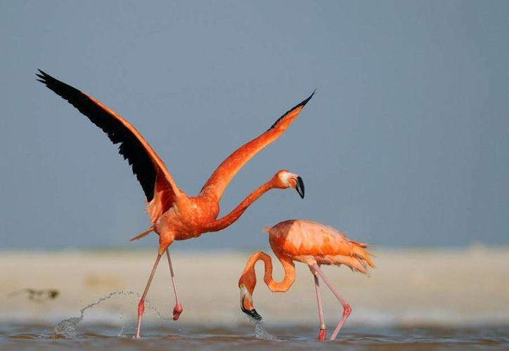 Los flamencos rosa constituyen un gran atractivo en Celestún. (SIPSE)