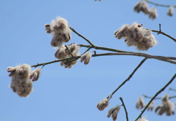 El algodón de la ceiba, se utilizó en el pasado como relleno de almohadas y cojines. (Sergio Orozco/ SIPSE)