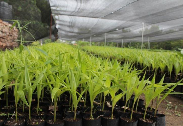 Ans an nuevo ciclo productivo forestal en quintana roo for Viveros forestales conafor
