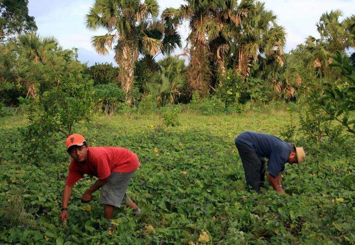 El Gobierno fomenta la producción agrícola, apoyado en la investigación científica. La imagen está utilizada solo con fines ilustrativos. (Archivo/Mileno Novedades)