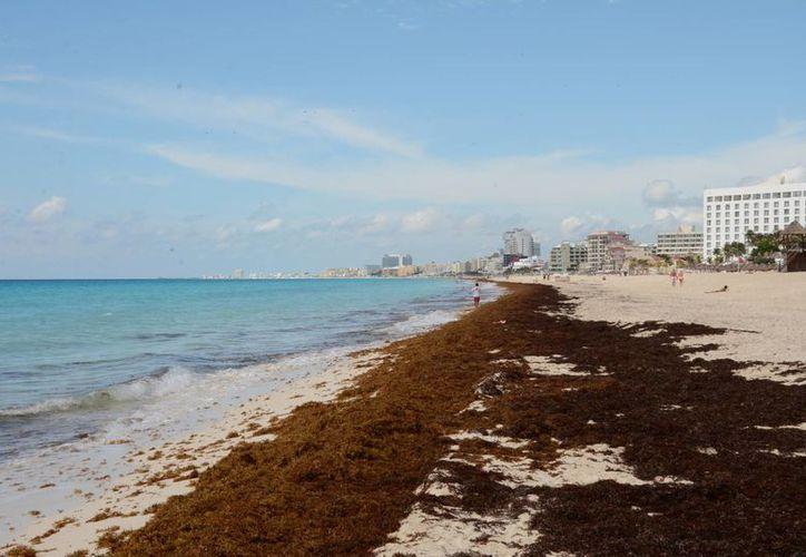 El arribo de sargazo a las costas de Cancún es considerado como un problema mínimo en la temporada atípica. (Tomás Álvarez/SIPSE)