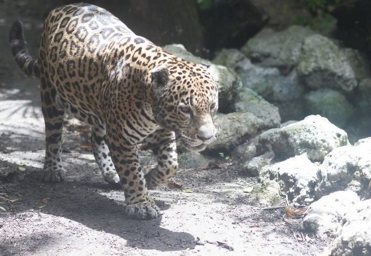 La Sema creará un Comité de Protección del jaguar  que coordinará acciones en las comunidades cercanas a Xcacel con el fin de preservar a esta especie amenazada.  (Redacción/SIPSE)