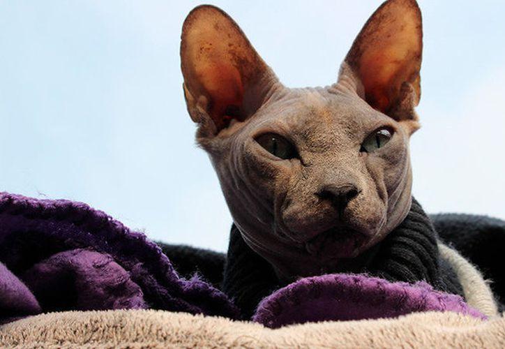 El extraño animal pertenece a la raza de gatos sphynx o gato esfinge, que surgió por primera vez en 1975. (Foto: RT)