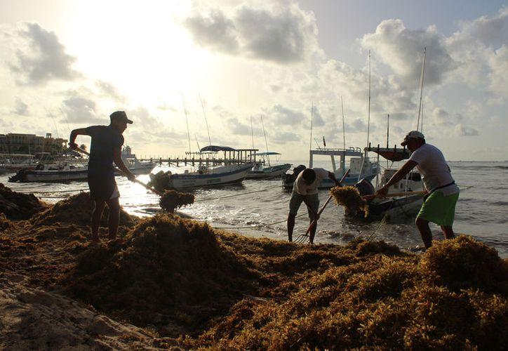 Al término de la temporada, se calcula que disminuya considerablemente el sargazo en Cancún. (Israel Leal)