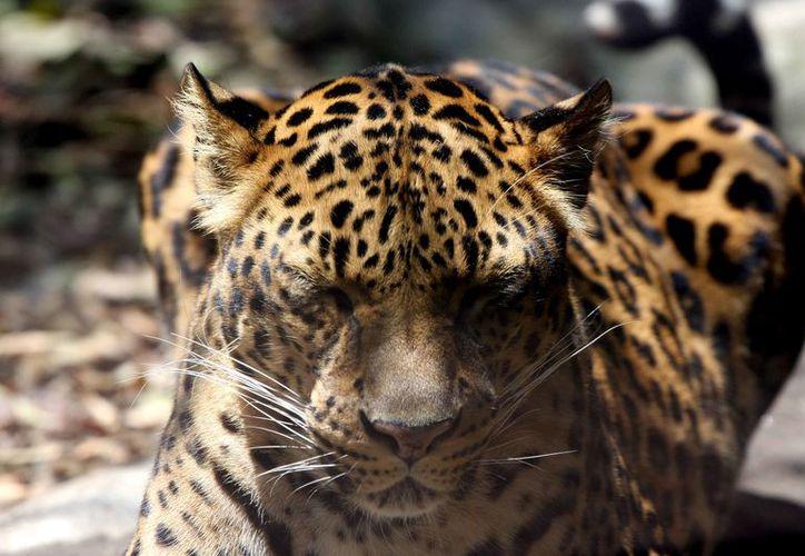 Exigirán a los terratenientes se comprometan a no cazar a los felinos. (Adrián Barreto/SIPSE)