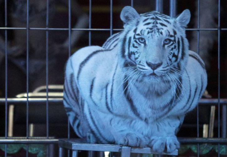 La Semarnat realizará visitas a los circos que no hayan entregado sus ejemplares de vida silvestre a zoológicos o a centros para la conservación. (Archivo/Notimex)