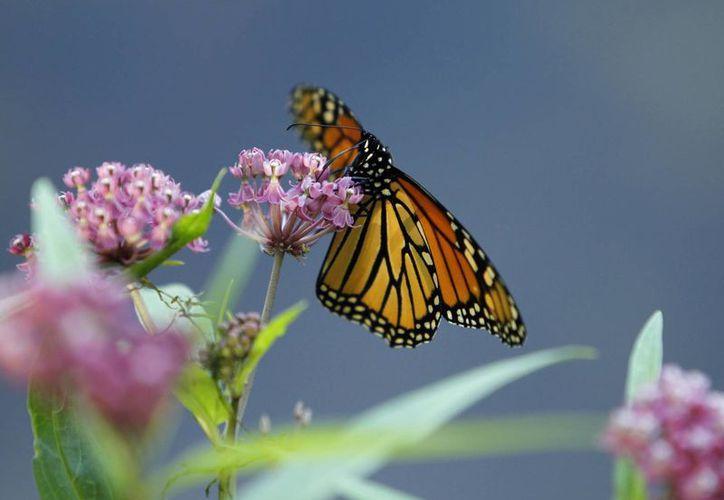 Una mariposa monarca libando néctar a la orilla del Lago Rock en Pequot Lakes, Minnesota. (Agencias)