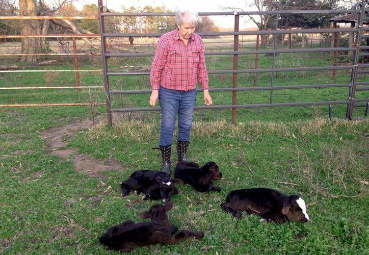 La mamá es incapaz de amamantar a sus cuatro crías, ya que normalmente alumbran dos becerros como máximo. (AP)