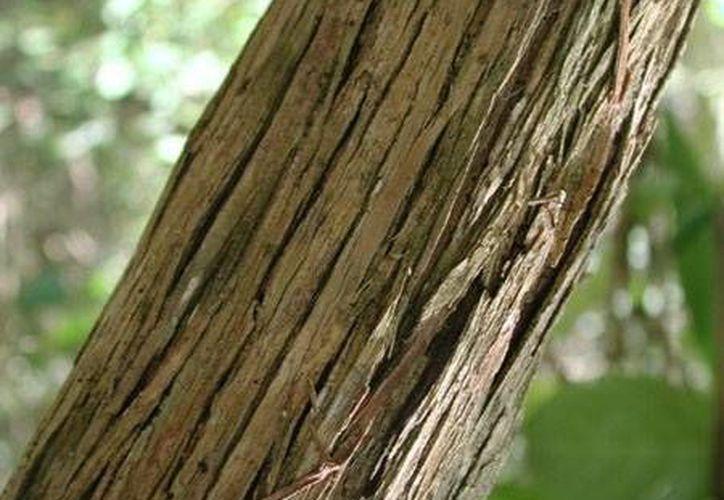 El dzidzilché se caracteriza por su singular corteza que parece que se resquebraja. (SIPSE)